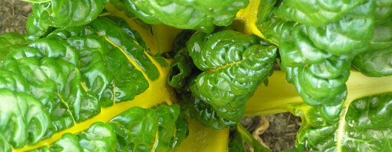 Gele snijbieten zijn een heerlijke groente om mee te koken.