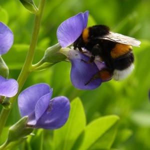 hommel-biodiversiteit