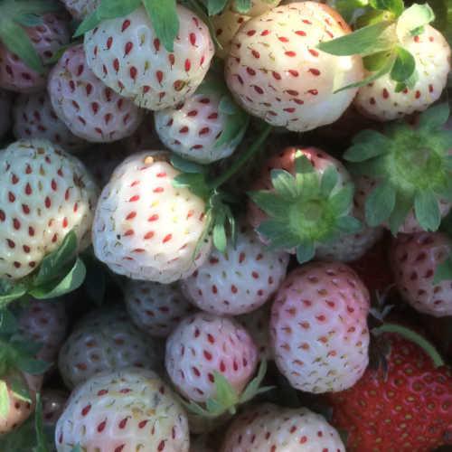 Op Kwekerij Zonnemaire verbouwen we verschillende soorten aardbeien