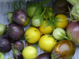 Tomaten in soorten, smaken, kleuren en geuren